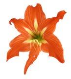 blommalilium Royaltyfri Fotografi