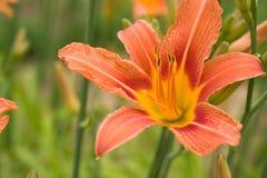 blommalilium lilly Royaltyfri Bild