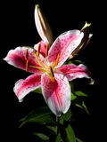 blommalilja Royaltyfri Bild