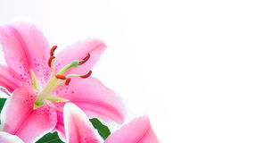 blommalilja Royaltyfri Fotografi