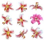 Blommaliljahuvud Arkivfoton