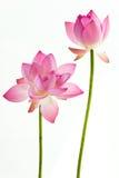 blommaliljalotusblommar pink twain vatten Royaltyfri Fotografi