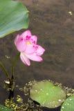 blommaliljalotusblommar pink twain vatten Arkivfoto
