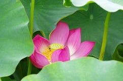 blommaliljalotusblommar pink twain vatten Arkivbild