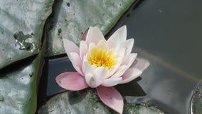 Blommaliljan Fotografering för Bildbyråer