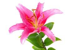 blommaliljapink Royaltyfria Bilder