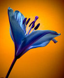 blommaliljapink Arkivfoton