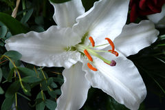 blommaliljawhite Arkivfoto
