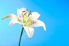 blommaliljawhite Royaltyfri Foto