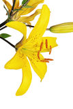 blommaliljayellow Royaltyfria Bilder