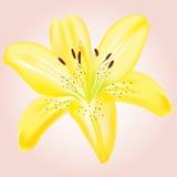 blommaliljayellow Royaltyfri Fotografi