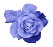 Blommaljus - blåttrosen på en vit isolerade bakgrund med den snabba banan Inget skuggar closeup För design textur, gränser, fra arkivfoton