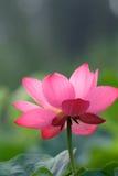 blommalotusblomma Royaltyfria Bilder