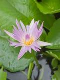 blommalotusblomma Arkivbild