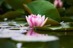 blommalotusblomma Arkivbilder