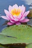 blommalotusblomma thailand Arkivbilder