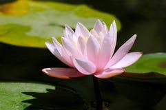 blommalotusblommadamm Fotografering för Bildbyråer