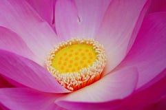 blommalotusblommamakro Arkivfoto