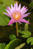 blommalotusblommanäckros Royaltyfri Bild
