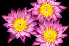 blommalotusblommapink Arkivbild