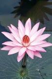 blommalotusblommapink Fotografering för Bildbyråer