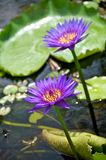 blommalotusblommapurple Royaltyfri Fotografi