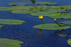 2 blommalotusblommar Fotografering för Bildbyråer