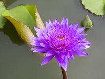 13 blommalotusblommar Royaltyfria Bilder