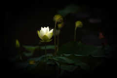 blommalotusblommawhite Royaltyfri Foto