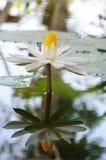 blommalotusblommawhite Fotografering för Bildbyråer