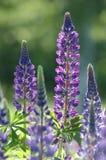 blommalupinepurple Royaltyfria Foton