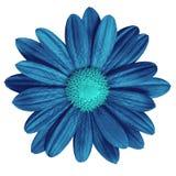 Blommamörker - blå cyan tusensköna som isoleras på vit bakgrund Närbild element för klockajuldesign royaltyfri foto