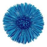 Blommamörker - blå cyan Tussilagofarfaramoder och styvmor som isoleras på vit bakgrund knoppcloseblomma upp Beståndsdel av de royaltyfri fotografi