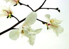 blommamagnolia Arkivfoto