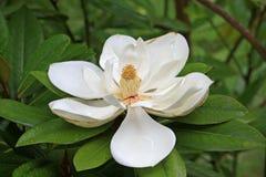 blommamagnolia Royaltyfria Foton