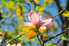 blommamagnoliapink Royaltyfria Bilder