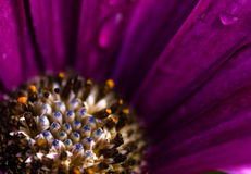 blommamakro Royaltyfria Bilder