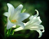 blommamakroen trampar white Arkivfoto