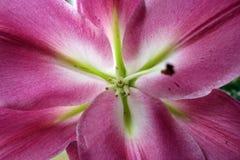 blommamakropink Royaltyfri Fotografi