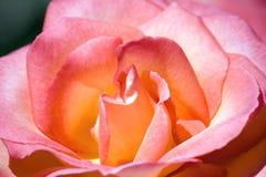 blommamakropinken steg Royaltyfri Fotografi