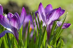 blommamakroviolet Fotografering för Bildbyråer