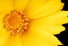 blommamakroyellow Royaltyfria Bilder