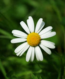 blommamarguerite Arkivfoton