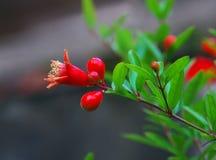 blommamegranate Arkivbilder