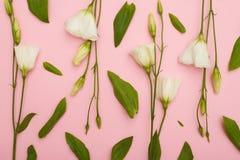 Blommamodell av den vita blomstra eustomaen på rosa flatlay fotografering för bildbyråer