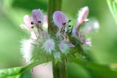 blommamotherwort Royaltyfri Foto