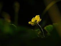 Blomman av balsampäronet Arkivfoto