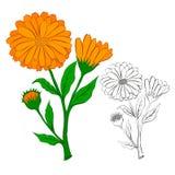 Blomman av calendulaen royaltyfri illustrationer