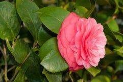 Blomman av den dekorativa busken Arkivbilder