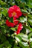 Blomman av den dekorativa busken Royaltyfria Bilder